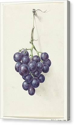 Bunch Of Blue Grapes Canvas Print
