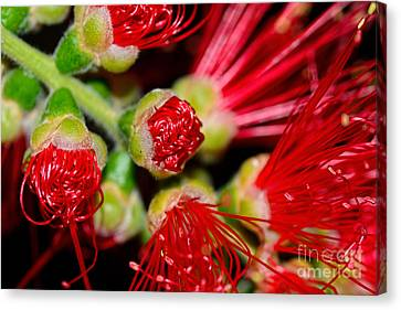 Bursting Out By Kaye Menner Canvas Print by Kaye Menner