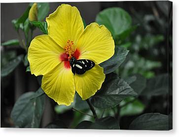 Butterflies Are Blooming 25 Canvas Print by Debra  Miller