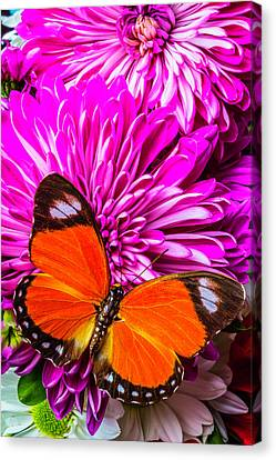 Butterfly On Pink Mums Canvas Print by Garry Gay
