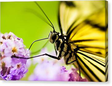 Butterfly Canvas Print by Sebastian Musial