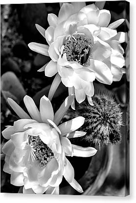Cactus Blooms Canvas Print by Dominic Piperata