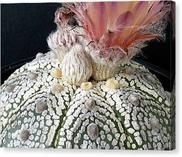 Cactus Flower 6 Canvas Print