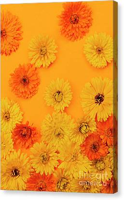 Calendula Flowers On Orange Background Canvas Print by Elena Elisseeva