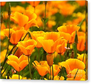 California Poppies Canvas Print by Patrick Witz