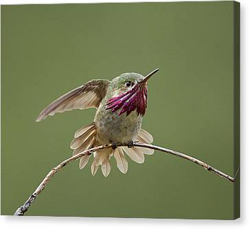 Calliope Hummingbird Canvas Print by Doug Herr