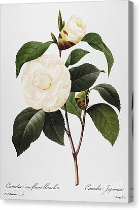 1833 Canvas Print - Camellia, 1833 by Granger