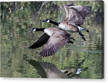 Canada Geese Canvas Print by Tam Ryan