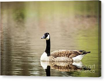 Canada Goose Canvas Print by Scott Pellegrin