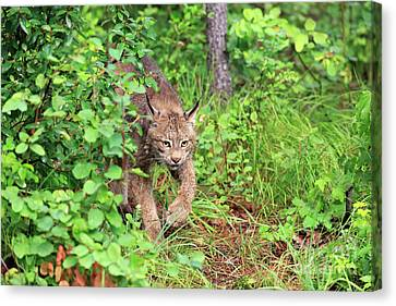 Canada Lynx Canvas Print by Louise Heusinkveld