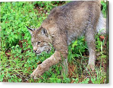 Canada Lynx Lynx Canadensis Canvas Print by Louise Heusinkveld