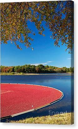 Cape Cod Cranberry Bog Canvas Print by Matt Suess