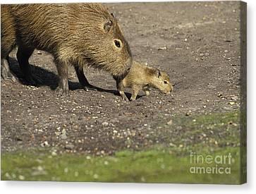 Capybara Hydrochoerus Hydrochaeris Canvas Print by Gerard Lacz