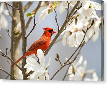 Canvas Print featuring the photograph Cardinal In Magnolia by Angel Cher