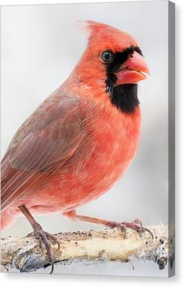 Cardinal Portrait Canvas Print