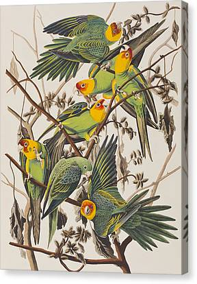 Parakeet Canvas Print - Carolina Parrot by John James Audubon