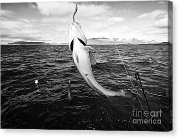catching cod seafishing on a charter boat Reykjavik iceland Canvas Print by Joe Fox