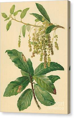 Catkins And Leaves Of Holm Oak Canvas Print