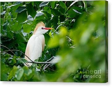 Cattle Egret At Rest Canvas Print