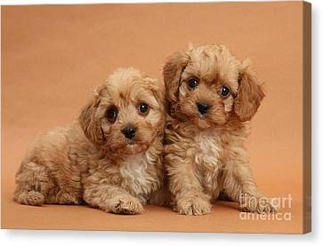 Cavapoo Pups Canvas Print by Mark Taylor
