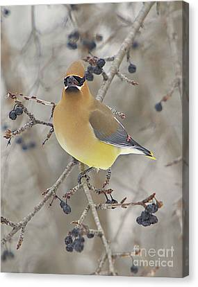 Cedar Wax Wing Canvas Print by Robert Pearson