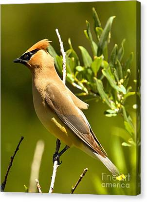 Cedar Waxwing Closeup Canvas Print by Adam Jewell