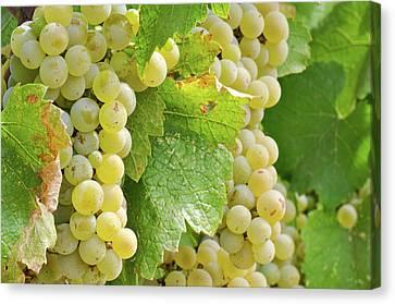 Chardonnay Grapes Close Up Canvas Print by Brandon Bourdages