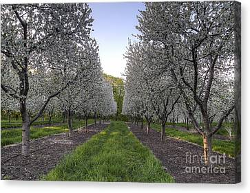 Cherry Blossoms In Traverse City Canvas Print by Twenty Two North Photography