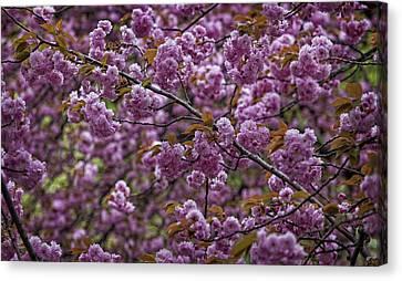 Cherry Blossoms Canvas Print by Robert Ullmann