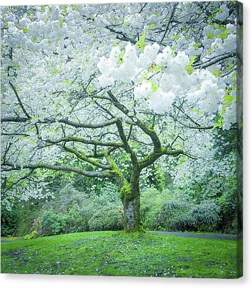 Cherry Blossoms Canvas Print - Cherry Blossoms by Vivienne Gucwa