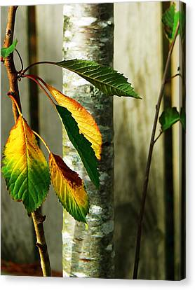 Cherry Tree Canvas Print by Pamela Patch
