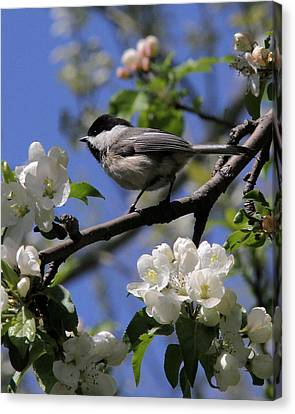 Chickadee Among The Blossoms Canvas Print