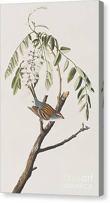 Chipping Sparrow Canvas Print by John James Audubon