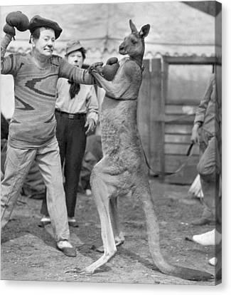Circus: Boxing Kangaroo Canvas Print by Granger