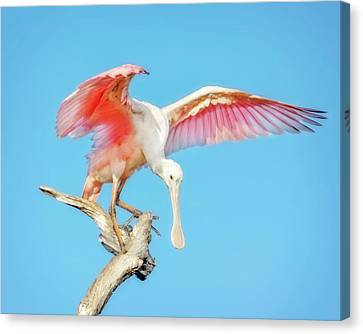 Spoonbill Canvas Print - Spoonbill Cleared For Takeoff by Mark Andrew Thomas