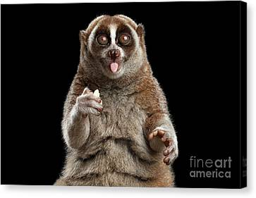 Close-up Lemur Slow Loris Isolated Black Background Canvas Print