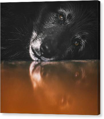 Working Dog Canvas Print - Close Up Portrait Of A Belgian Sheepdog by Wolf Shadow Photography