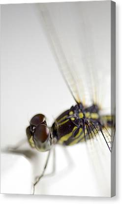 Close Up Shoot Of A Anisoptera Dragonfly Canvas Print