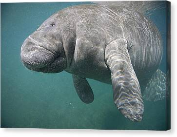 Close View Of A Manatee Canvas Print