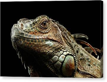 Closeup Green Iguana Isolated On Black Background Canvas Print by Sergey Taran