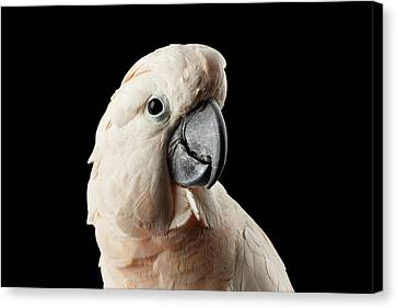 Closeup Head Of Beautiful Moluccan Cockatoo, Pink Salmon-crested Parrot Isolated On Black Background Canvas Print