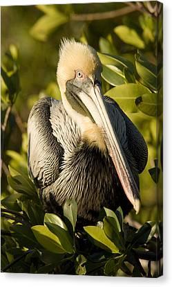 Closeup Portrait Of A Brown Pelican Canvas Print by Tim Laman