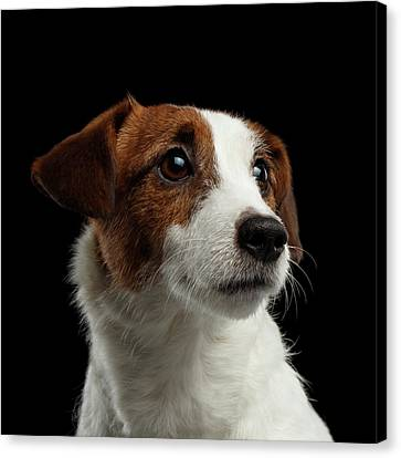 Closeup Portrait Of Jack Russell Terrier Dog On Black Canvas Print by Sergey Taran