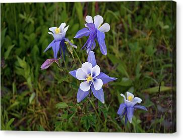 Colorado Columbine Canvas Print by Steve Stuller