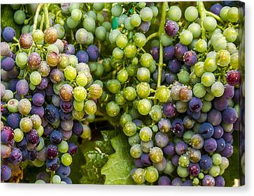 Colorful Wine Grapes On Grapevine Canvas Print by Teri Virbickis
