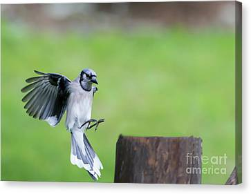 Coming In For Landing Canvas Print by Dan Friend