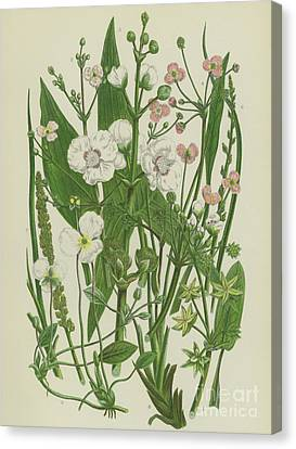 Sea Fern Canvas Print - Common Star Fruit, Greater Water Plantain And Other Plants by English School