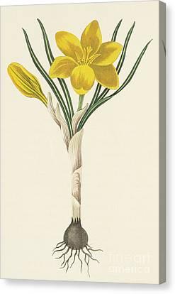 Common Yellow Crocus Canvas Print