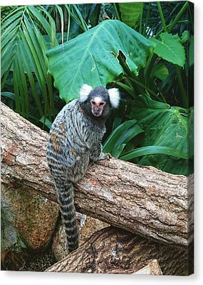 Commonmarmoset  Canvas Print