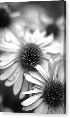 Cone Flower 7 Canvas Print